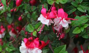 Цветок фуксия: сорта, посадка и выращивание