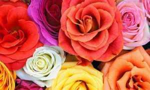Кенийская роза: описание сорта, правила выращивания и ухода с фото