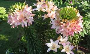 Лилия Марлен – создайте райский сад на участке