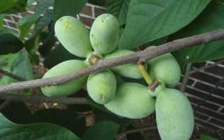 Азимина – посадка и уход, выращивание, размножение, описание, фото, виды, полезные свойства