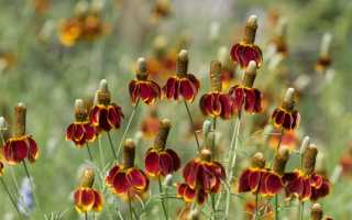 Ратибида: выращивание из семян в саду, как ухаживать