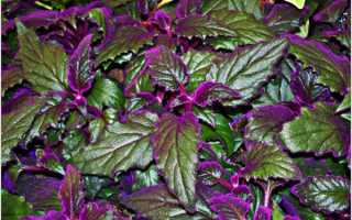 Цветок с бордовыми листьями
