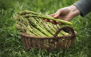 Спаржа зеленая: выращивание