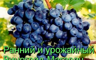Виноград культурный 'Рубиновый магарача' — описание сорта, характеристики