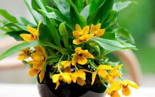 Орхидея Променея – уход в домашних условиях и разновидности цветка
