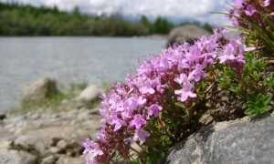 Тимьян – Thymus serpillum L.: фото, условия выращивания, уход и размножение