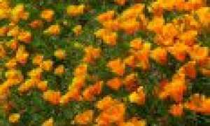 Когда сажать эшшольцию, выращивание из семян, все тонкости