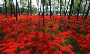 Ликорис: фото цветка, описание лучистого, красного, чешуйчатого, белого видов