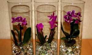 Узнайте про выращивание орхидеи в гидрогеле: описание и особенности ухода