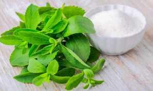 Стевия – Stevia rebaudiana: фото, условия выращивания, уход и размножение