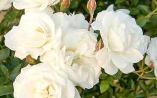 Полиантовые розы: популярные сорта и особенности их выращивания