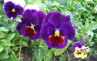 Фиалка Виттрока – Viola x wittrockiana: фото, условия выращивания, уход и размножение