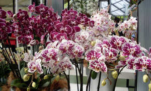 Орхиде�: опи�ание, уход, размножение, полив