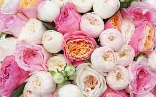 Пионовидные розы: названия сортов с фото и описанием