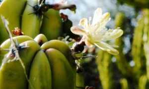 Миртиллокактус – Myrtillocactus: фото, условия выращивания, уход и размножение