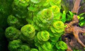 Кабомба: аквариумное растение, содержание, виды с фото и их описания