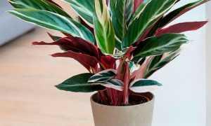 Красивейшее комнатное растение — строманта: уход, размножение, виды и вредители