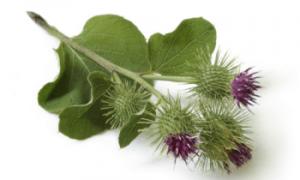Репейник (фото растения) – советы, секреты, рекомендации