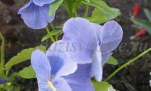 Виды и названия лекарственных растений для сада, их свойства и применение