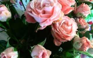 Роза подмосковная