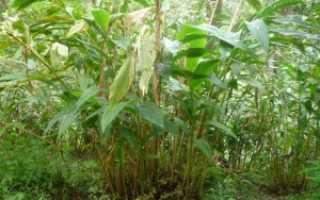 Кардамон – Elettaria: фото, условия выращивания, уход и размножение