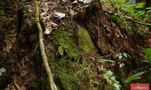 Макодес (Macodes) — описание, выращивание, фото