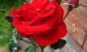Santana — кроваво-алая плетистая роза от Tantau