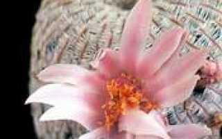Стенокактус кудрявый – Stenocactus (Echinofossulocactus) crispatus: фото, условия выращивания, уход и размножение
