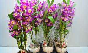 Фаленопсис Дендробиум – как правильно за ним ухаживать