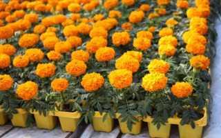 Бархатцы: низкорослые сорта с фото и названиями, желтые, белые, оранжевые, лимонные, шаровидные, лучшие для клумб, прямостоячие