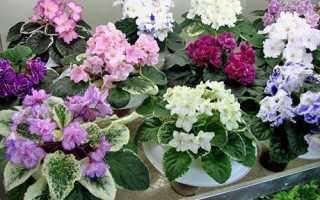 Уход за фиалкой в домашних условиях: посадка, выращивание, размножение