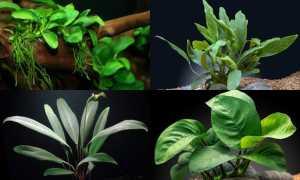 Анубиас, аквариумное растение: фото, условия содержания, его виды и способы размножения