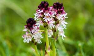 Ятрышник: выращивание, фото и описание цветка