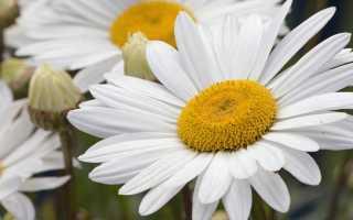 Ромашка садовая крупная многолетняя: посадка и уход – как вырастить в открытом грунте и дома, фото