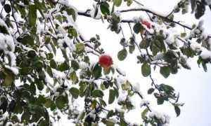 Почему не опадают листья с яблони: в чем причины и что делать