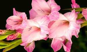Гладиолус — посадка и уход в открытом грунте, лучшие сорта, размножение цветка и болезни