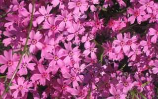 Многолетние флоксы: сорта, фото с названиями, разновидности низкорослых цветов