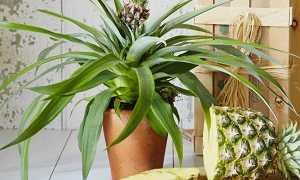 Ананас: как вырастить тропическое растение дома