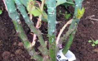 Пересадка роз на другое место: подготовка земли и выбор места, последующий уход и особенности пересадки осенью