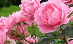 Как удобрять розы летом