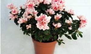 Почему не цветет азалия, как заставить цвести в домашних условиях