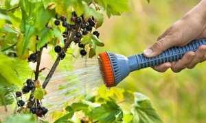 Летний уход за черной смородиной: 3 шага, которые обеспечат хороший урожай