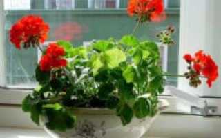 Герань махровая: уход в домашних условиях, особенности цветения