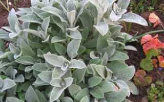 Чистец или стахис: описание, фото видов, сортов цветка, посадка, уход
