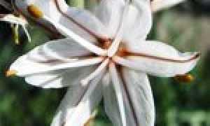 Асфоделюс дудчатый: описание и особенности выращивания, применение