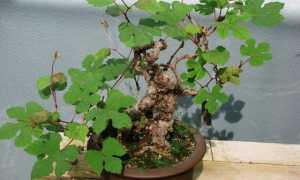 Виноградовник японский – Ampelopsis japonica: фото, условия выращивания, уход и размножение
