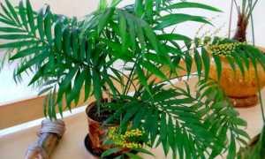 Хамедорея изящная – Chamaedorea elegans: фото, условия выращивания, уход и размножение